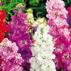 Gilly Flower