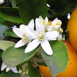 Orange Blossoms